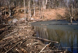 beaver dam cottonwood lake